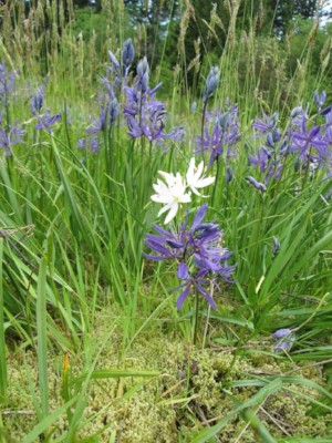 camas at Harewood Plains